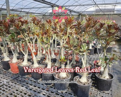 Red Leaf Variegated (Red Maple)