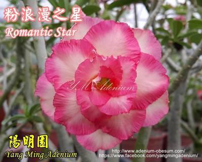 Romantic Night (Romantic Star)