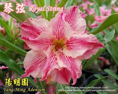 Rosy String (Royal String)