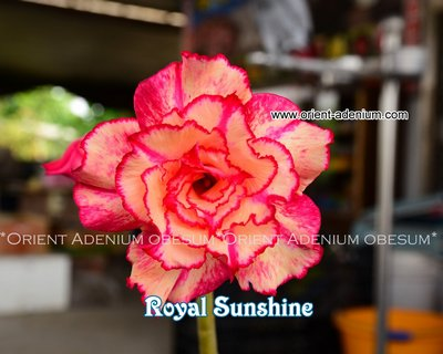 Royal Sunshine