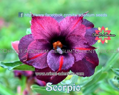 Scorpio (Sabah Night)