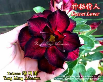Secret Lover (Mysterious)