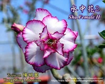 Sha Female II
