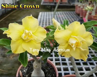 Shine Crown