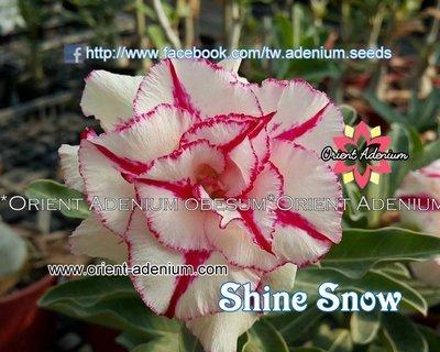 Shine Snow