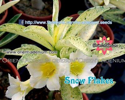 Snowflakes Variegated