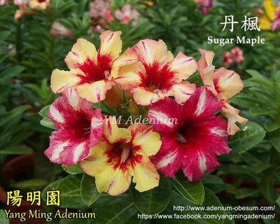 Sugar Maple
