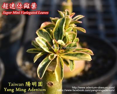 Super Mini Variegated Leaves