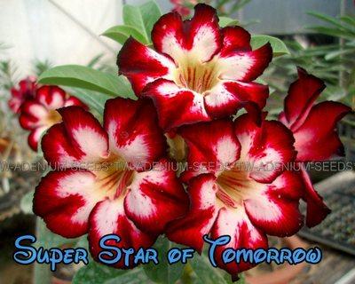 Super Star of Tomorrow