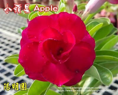 Swazicum Apple
