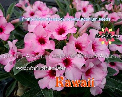 Swazicum Kawaii