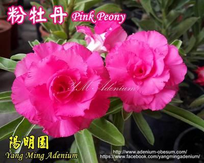 Swazicum Pink Peony