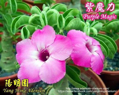Swazicum Purple Magic