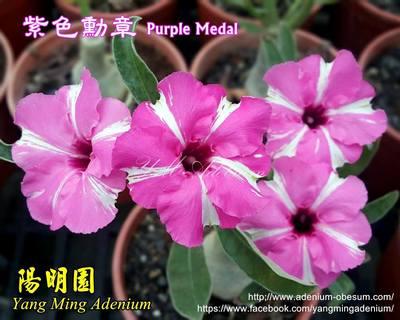Swazicum Purple Medal