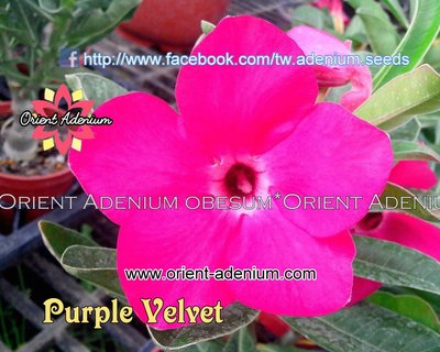 Swazicum Purple Velvet
