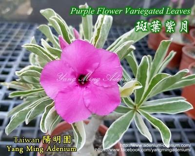 Swazicum Variegated Leaves Purple Flower (Super Purple Moon)
