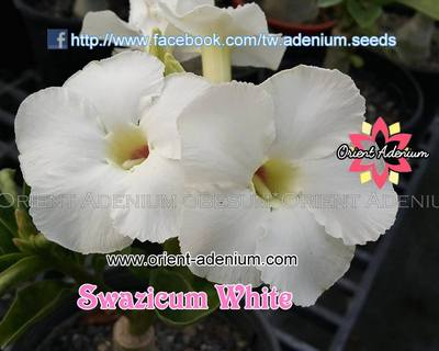 Swazicum White