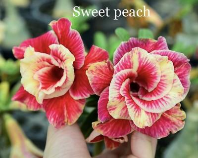 Sweet Peach (Hua Fei)