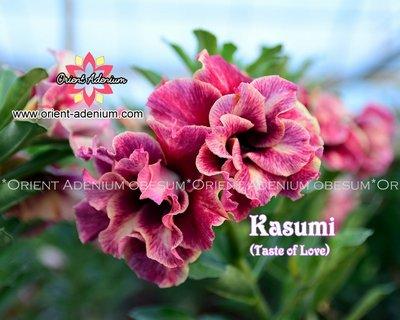 Taste of Love (Kasumi)