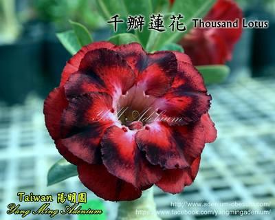 Thousand Lotus