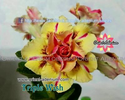 Triple Wish
