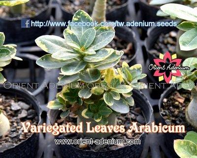 Variegated Leaves Arabicum
