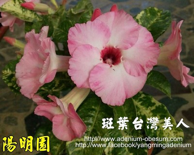 Variegated Leaves Taiwan Beauty