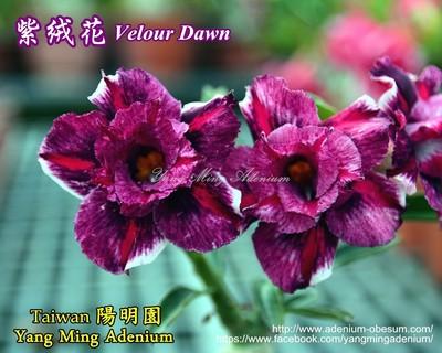 Velour Dawn