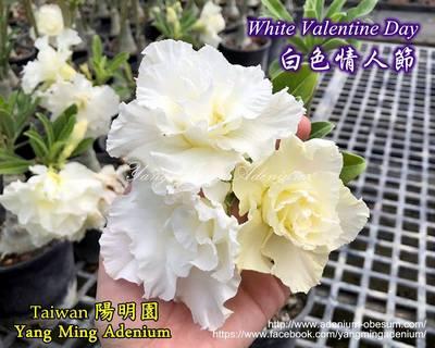 White Valentine Day