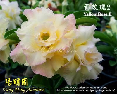 Yellow Rose II (Breaking Dawn II)