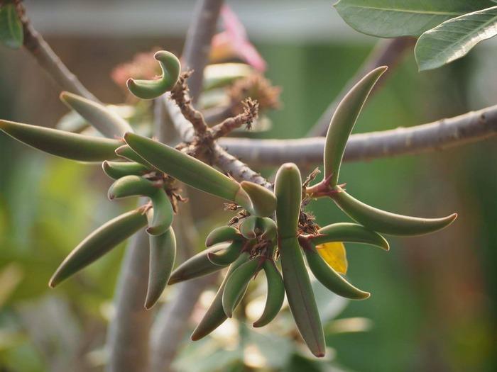 Опыление и получение семян адениума
