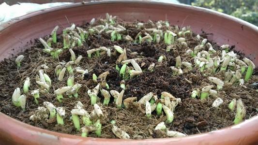 В Азии семена сеют еще плотнее и в большие емкости, но это будет актуально, если у вас такие же условия проращивания