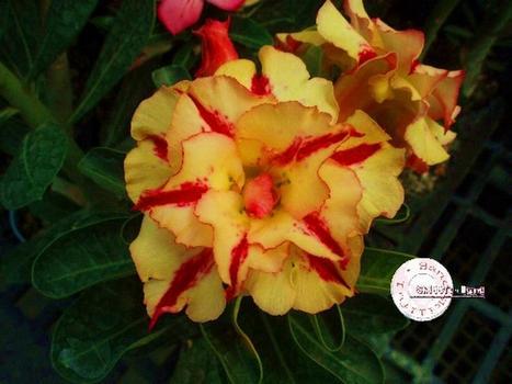 Так цветет маточное растение сорта КО-37