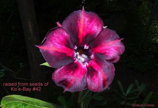Цветок вышел интереснее маточника, близким по палитре, но по-прежнему не является клоном
