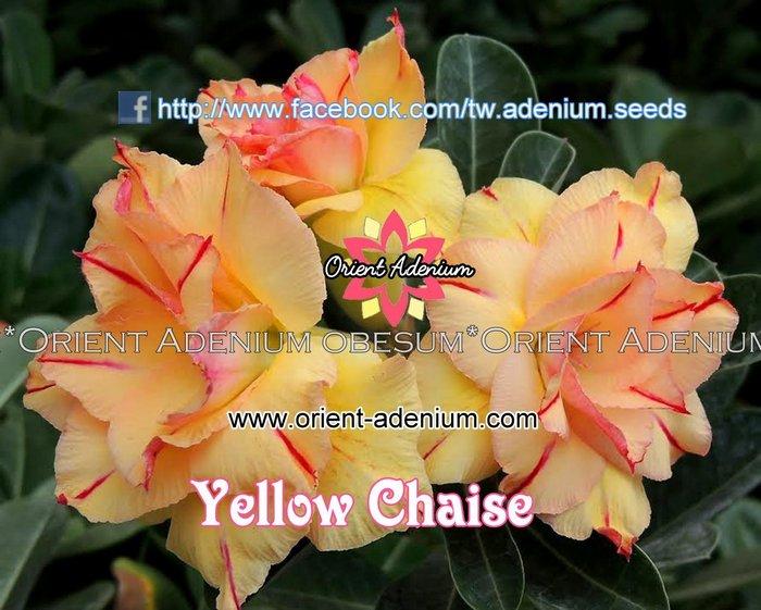 На растении сорта Yellow Chaise созрели семена, и мы можем их купить