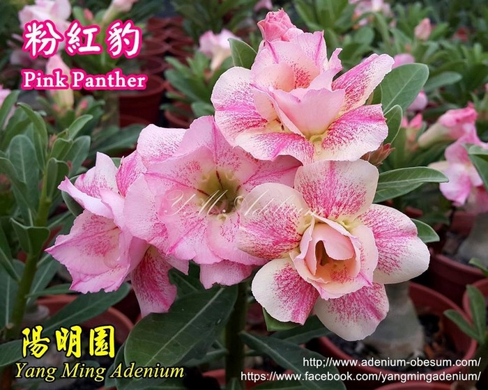 Вот сорт Pink Panther растёт на Тайване