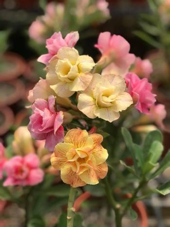 Хамелеон из питомника Розы Чен. На одном растении букет из разных цветов