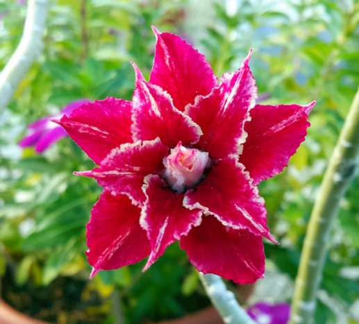 Сеянец из питомника Ориент. Первый вариант цветения в жаркую погоду