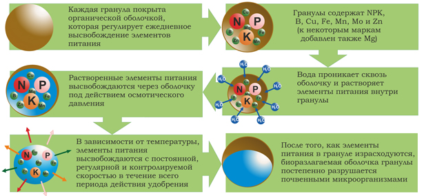 Схематично механизм действия выглядит так