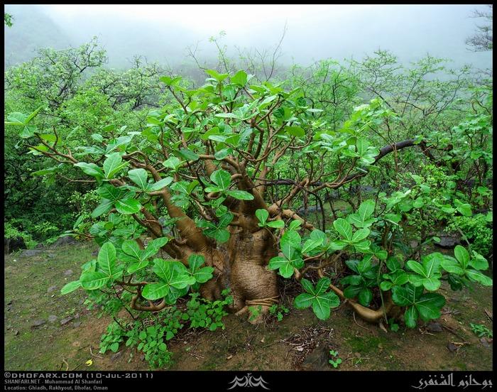 Адениум арабикум или арабский