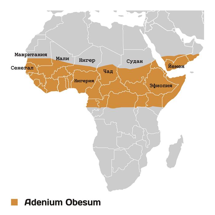 Адениум обесум или тучный