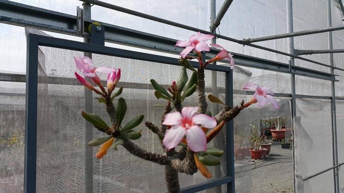 Цветение в питомнике Yang Ming Adenium