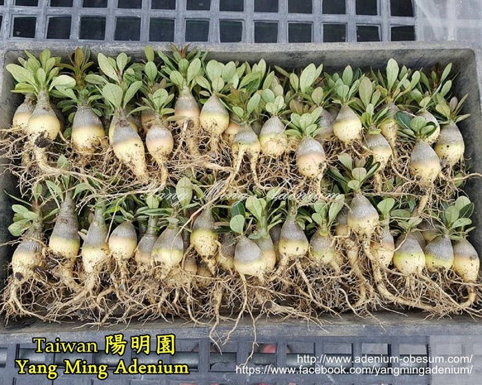 Сеянцы сокотранума, выращенные в питомнике