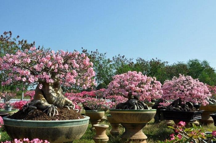 Десятилетние растения гибрида Thai-socotranum