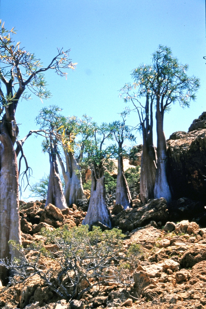 Адениум сомалийский в дикой природе