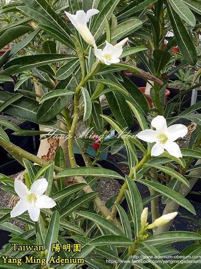 Достижение селекционеров - белые цветы у сомалийского вида