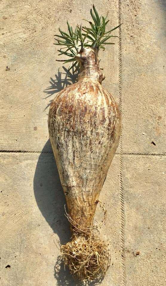 Каудекс имеет форму кувшина, при этом корни растут исключительно из нижней его части, на поверхности лишь небольшие тонкие ветки