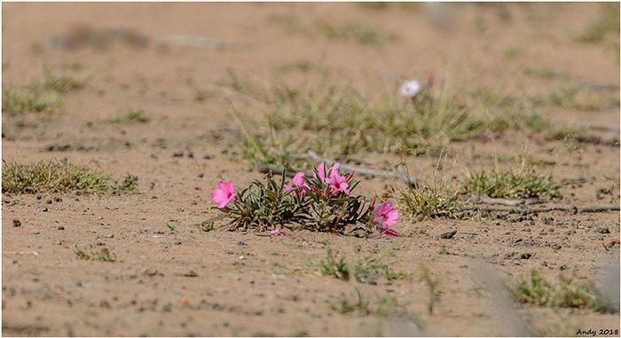 Низкорослый куст, ЮАР