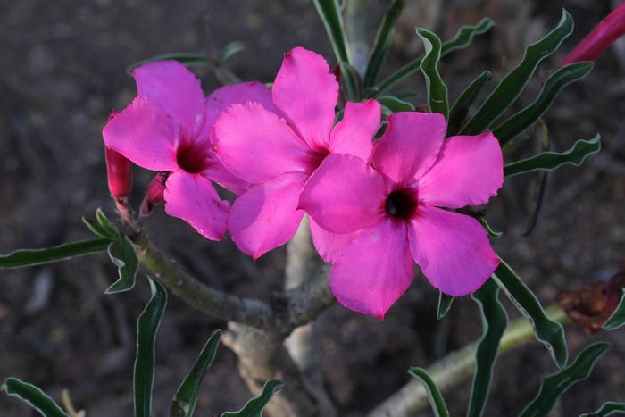 Цветение свазикума в национальном парке Крюгера, ЮАР