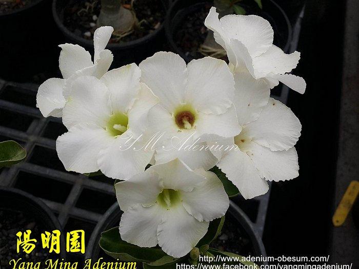 Достижение селекции Тайваня — белые цветы у гибридного свазикума